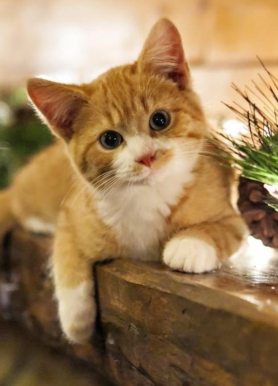 cute ginger and white