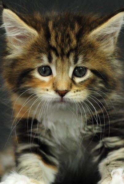cute longhair kitten