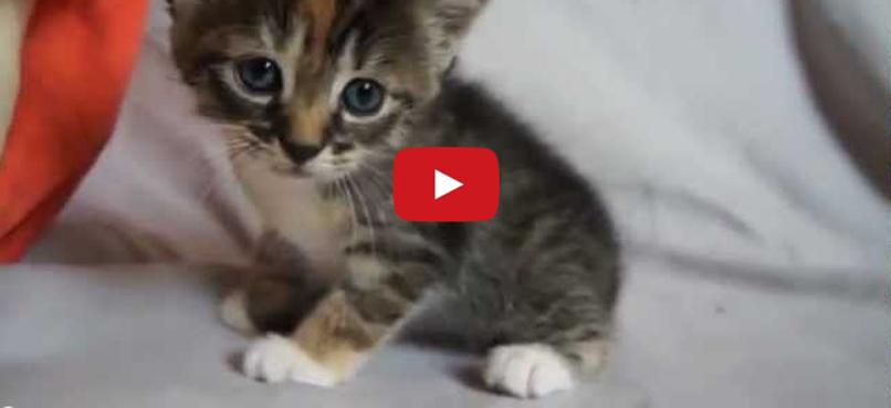 bobcat kitten for sale