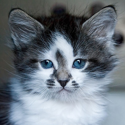 cuuuute kitten blue eyes