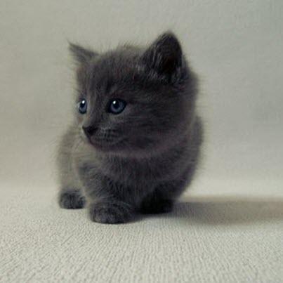 grey fluff kitten