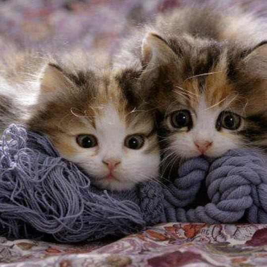 snuggle kitten pair