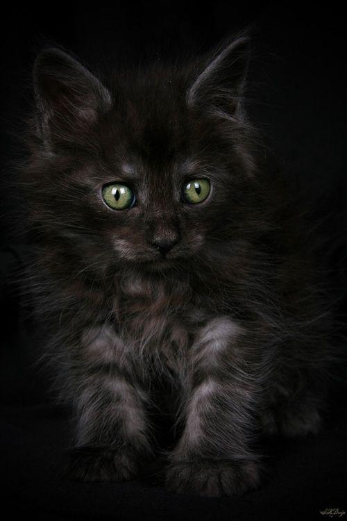 black grey kitten