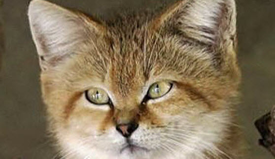 sand cats are adorable animals 10th september 2014