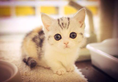 tiny white tabby