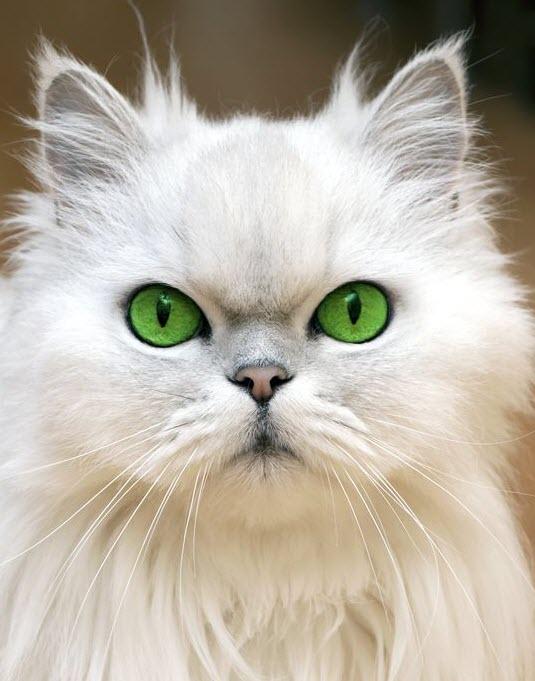 white green eyes