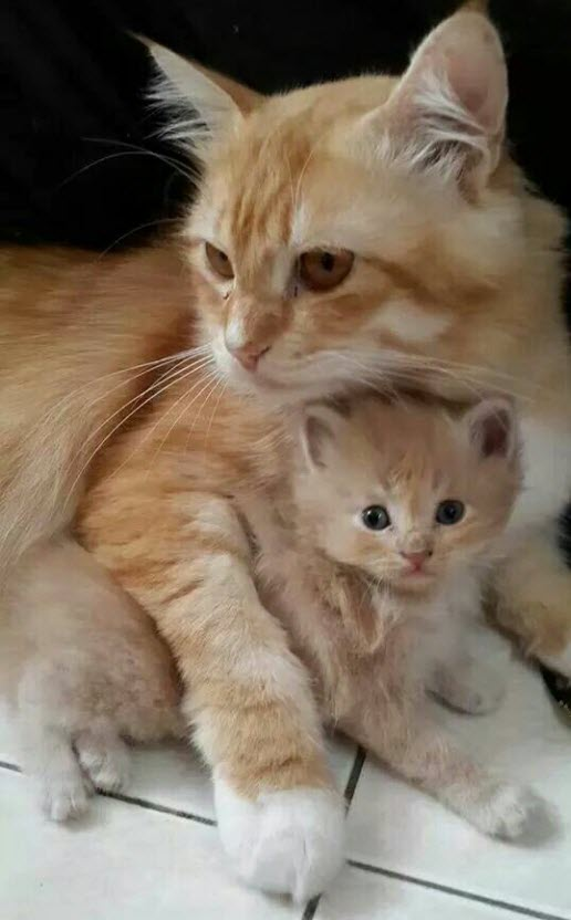 Ginger mum and kitten