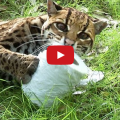 big cats vs toilet paper