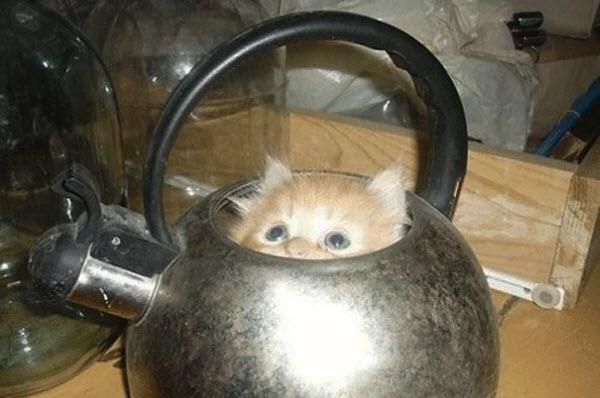 cat in kettle