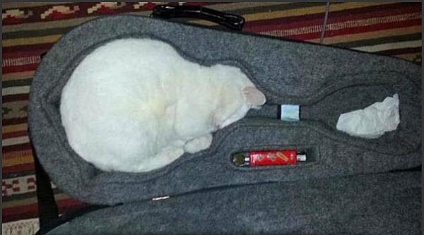 cat in mandolin case