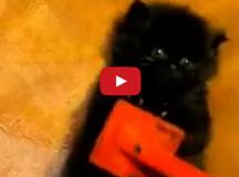kitten brushing