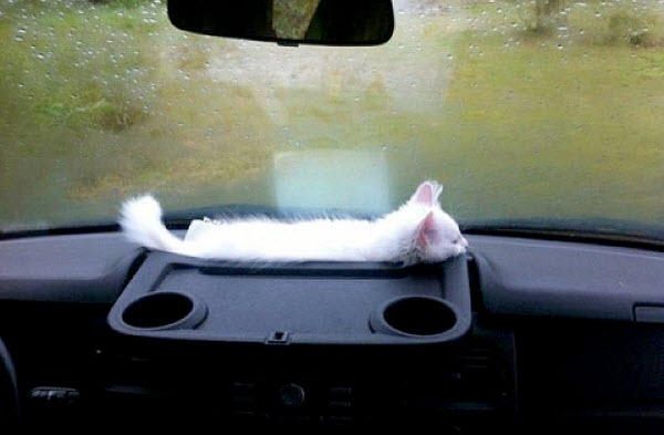 kitten in car cup holder
