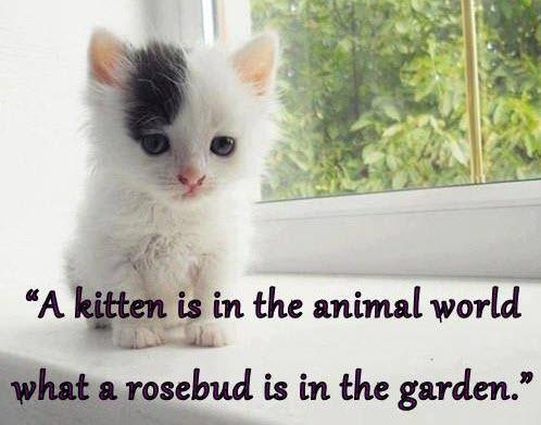 kitten rosebud