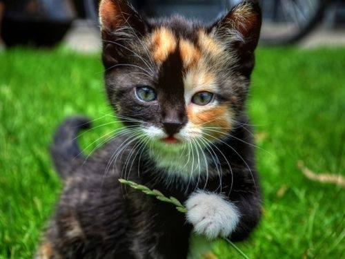 striking calico