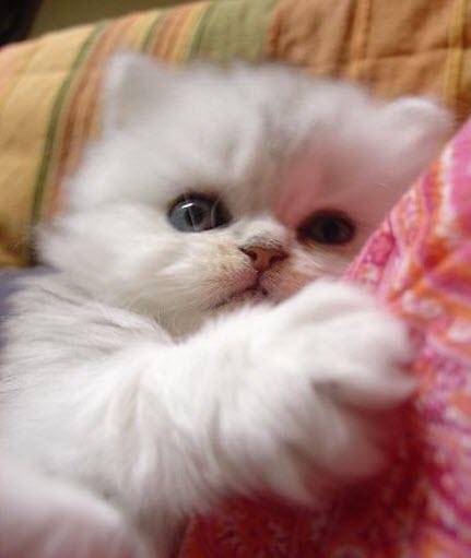 white kitten 3