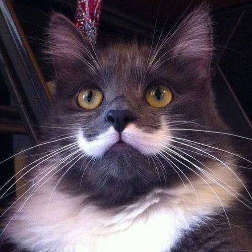 18 Cats with Fabulous Moustaches
