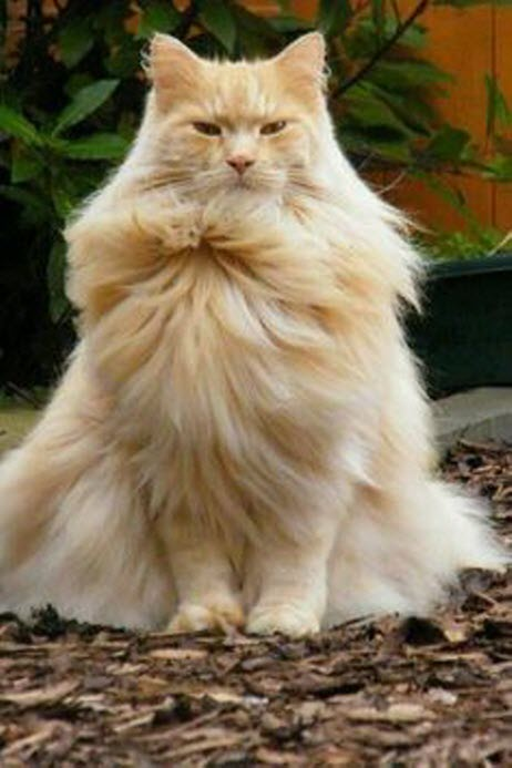 fabulous maine coon