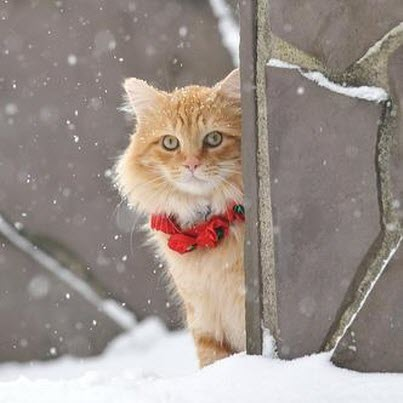 ginger xmas cat snow