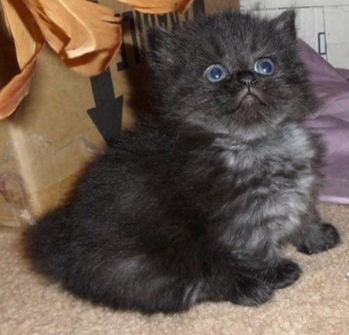 21 Munchkin Kittens That Prove Size Doesn T Matter