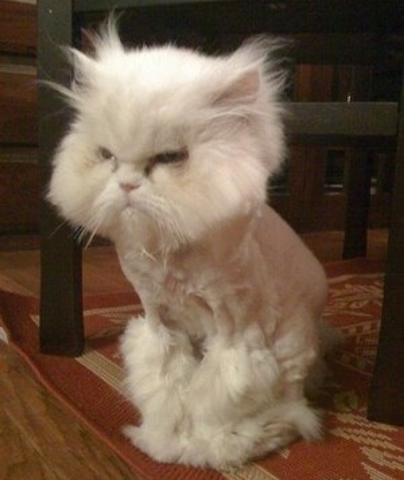 18 Unhappy Cats That Hate Their Stupid Haircuts