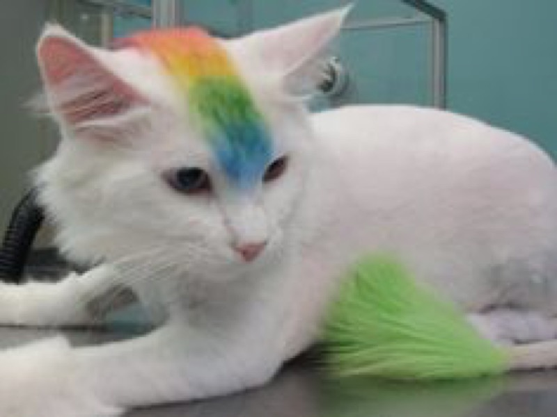 Cat Grooming Kitten Cut