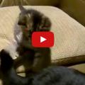 versus cat tail