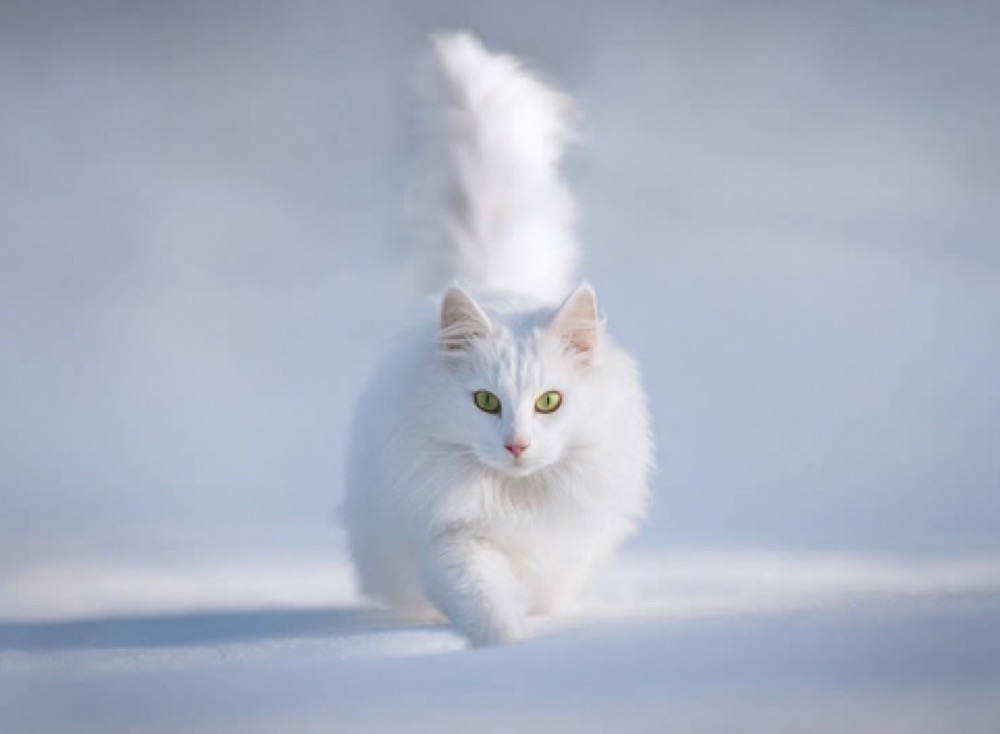 white cat in snow