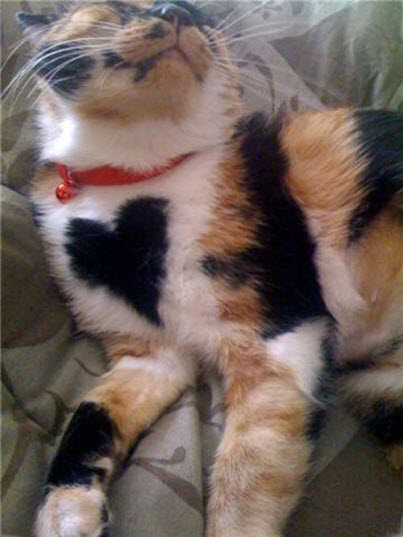 cat heart calico