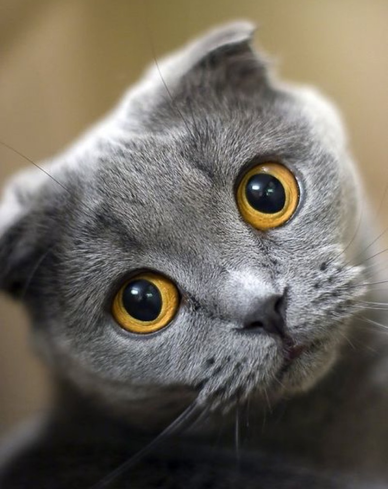 Scottish Fold copy