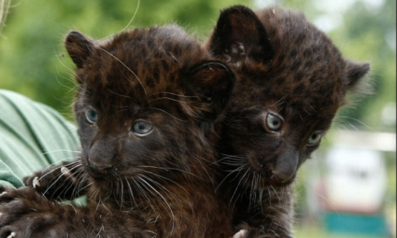 baby leopard cubs