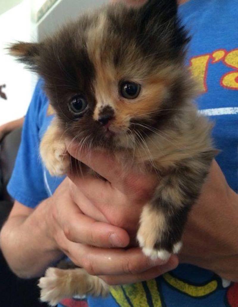 real cutie calico