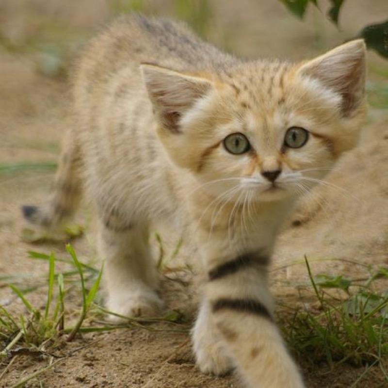 sand cat 2