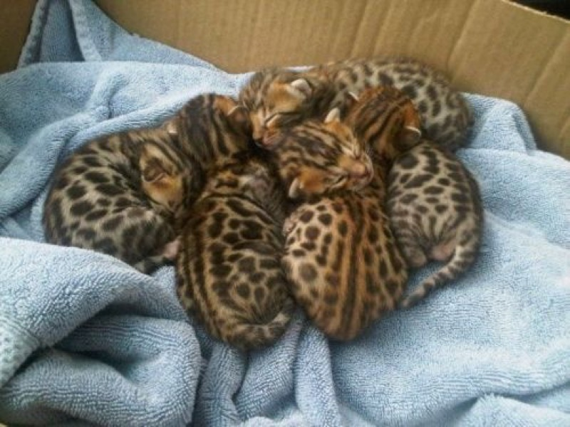 box of bengal kittens
