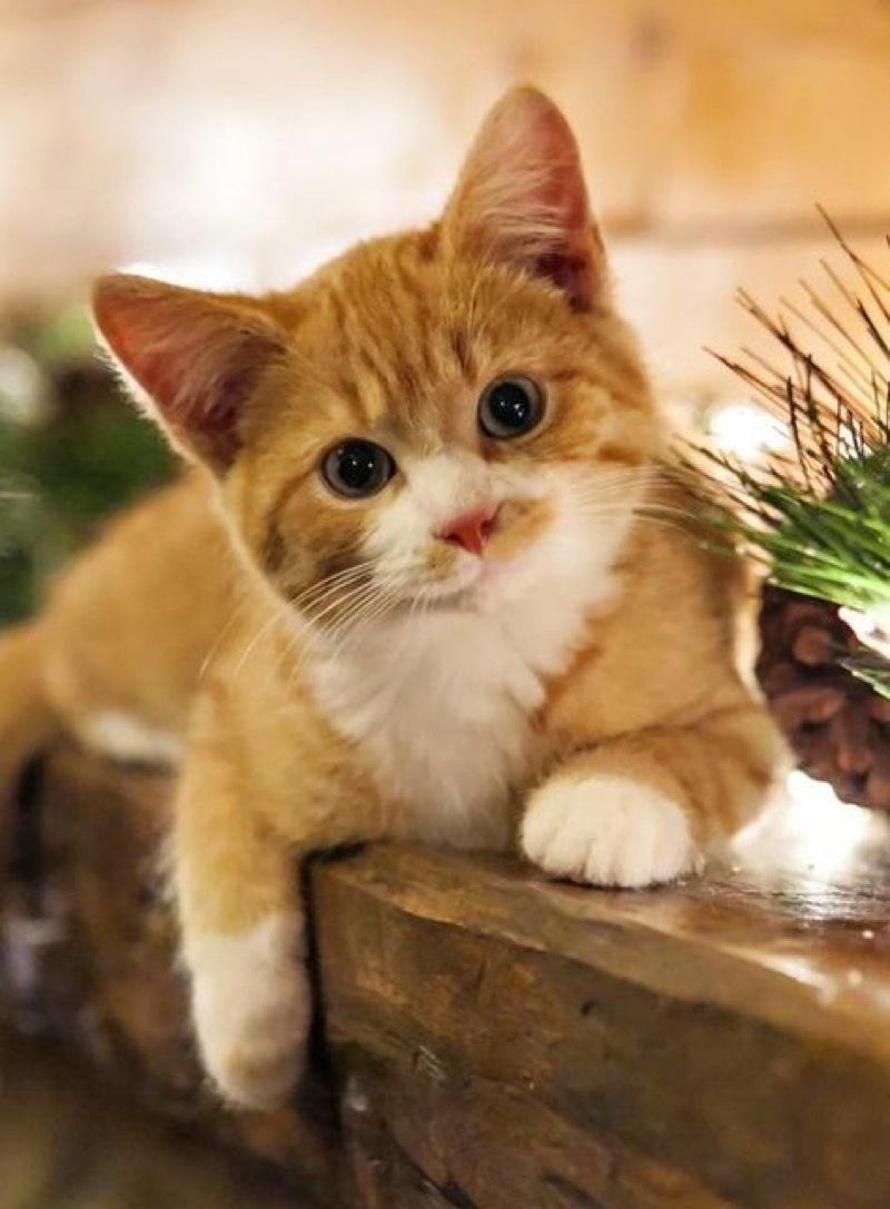 ginger white cutie