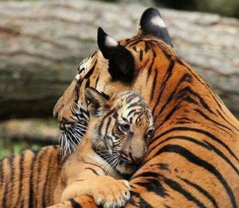 big cats love hugs