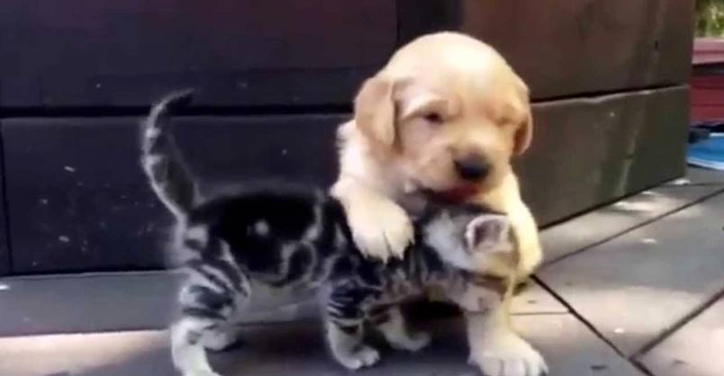 This Kitten Loves His New Friend, A Golden Retriever Puppy
