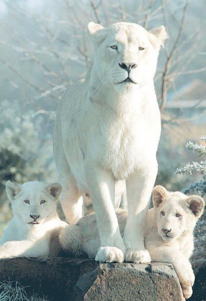 white mountain lions
