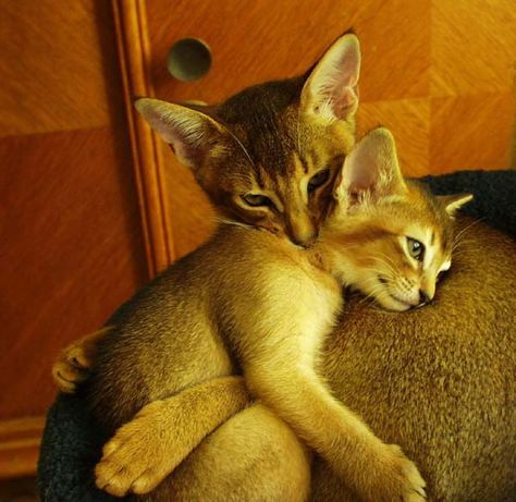 Abyssinian Mama and Kitten