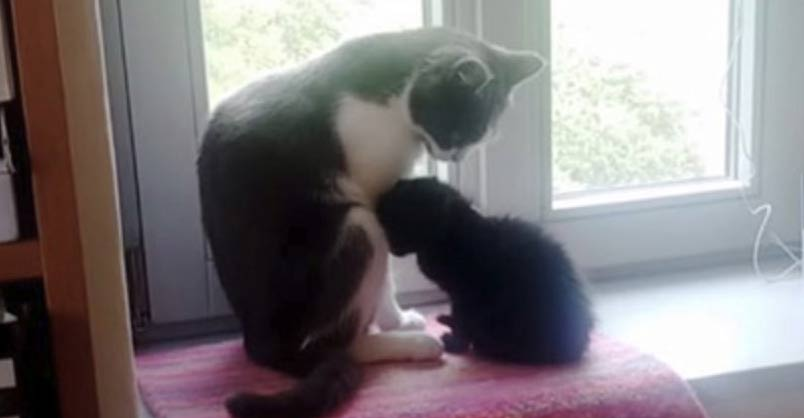 Adopted Kitten Bonds with Family Cat