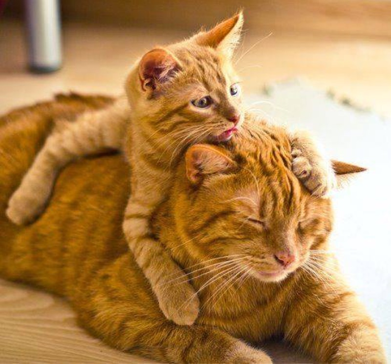 ginger mum and kitten