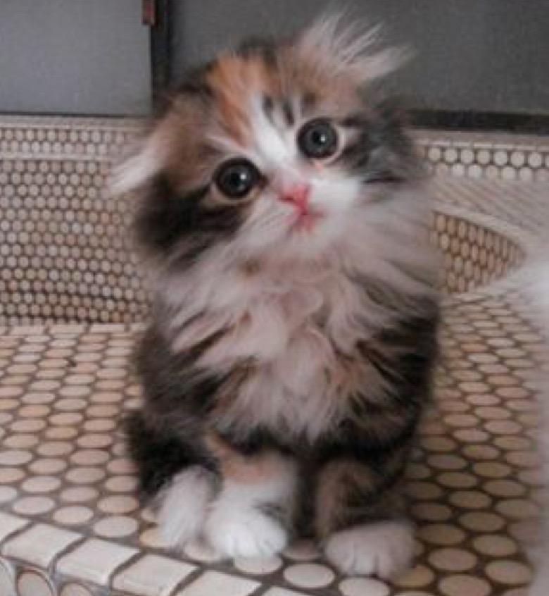 long haired scottish fold kitten