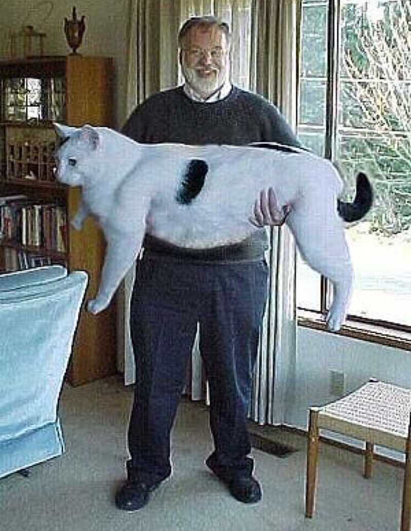 maine coon this big