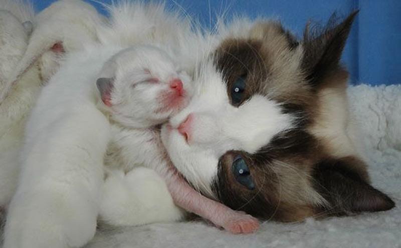 Sealpoint Bicolor Ragdoll cat