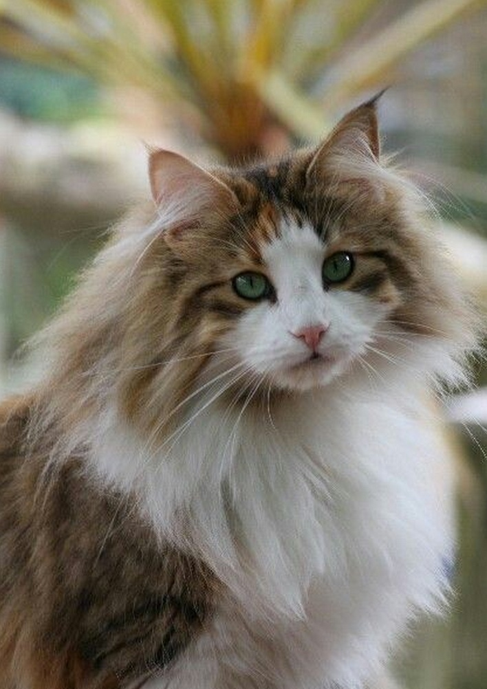 Norwegian Forest Cat copy