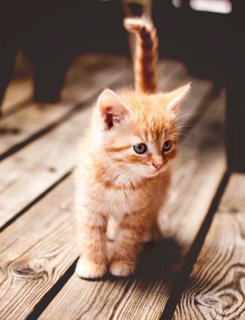 ginger kitten copy