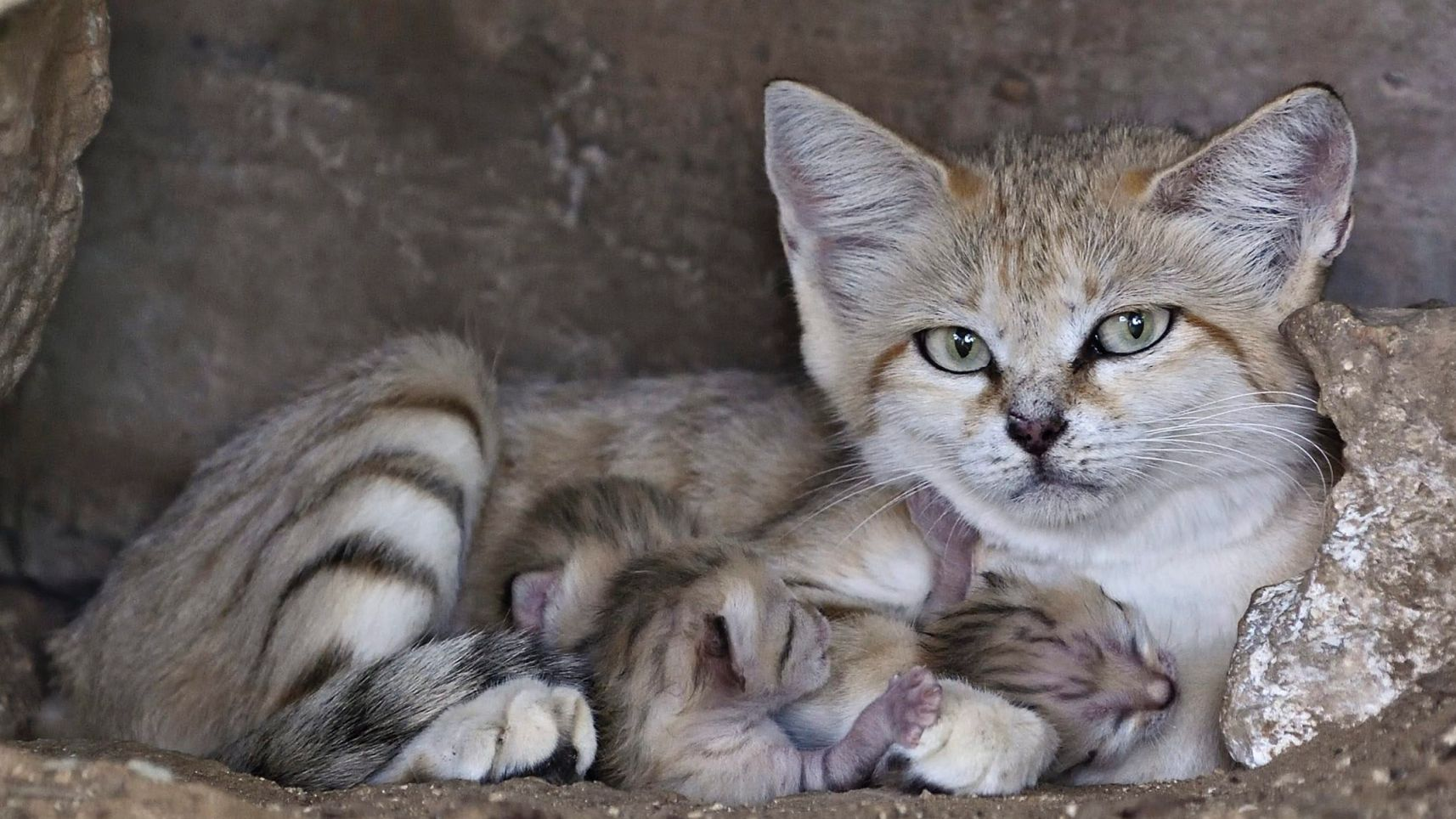 Rare Sand Cat Surprises Everyone with a Special Delivery !