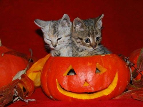 2 kittens pumpkin