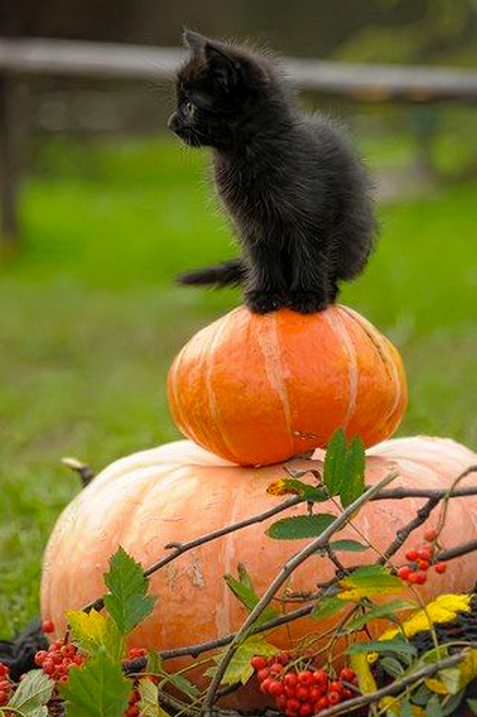 black cat 2 pumpkins