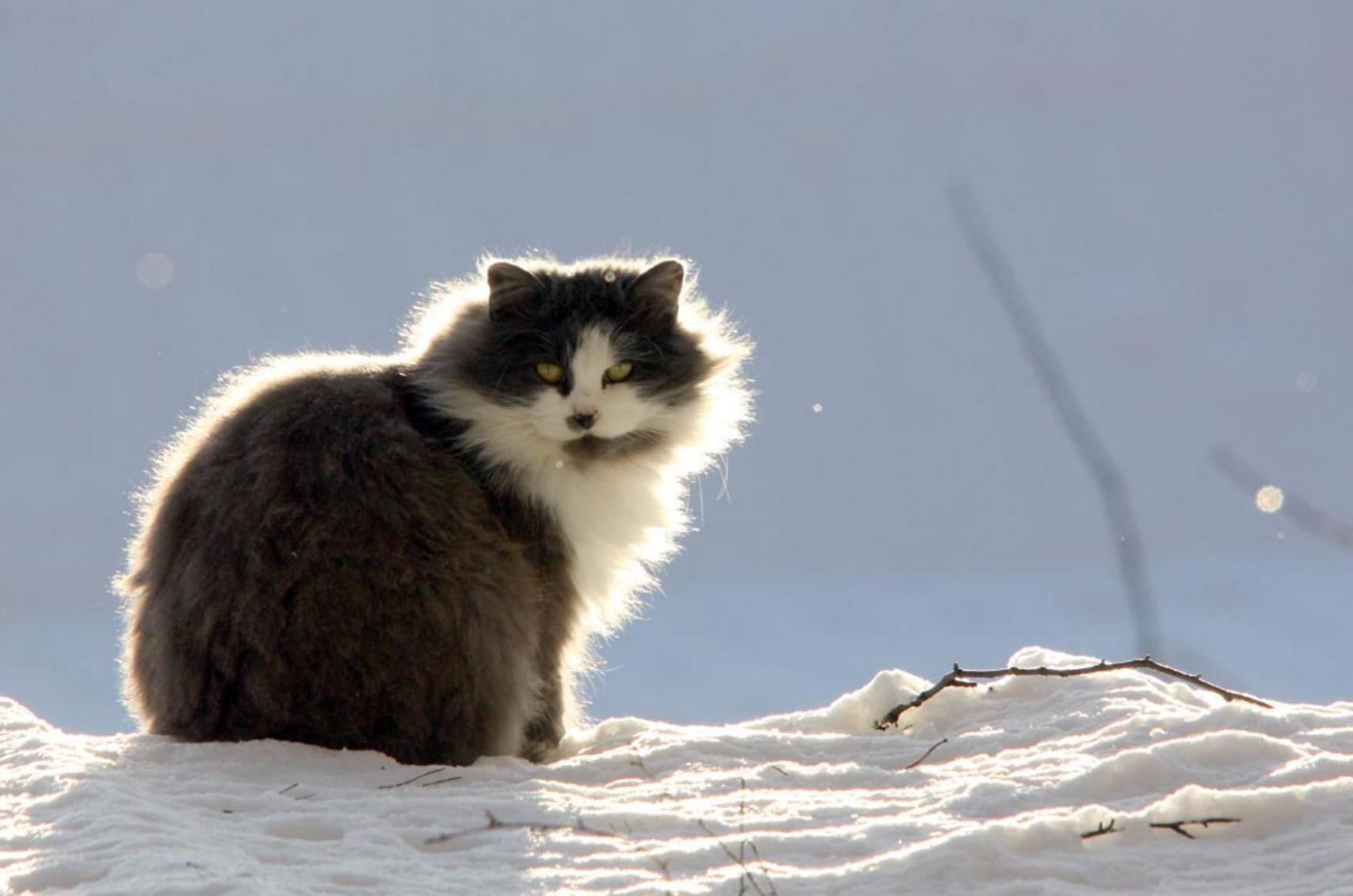 cat in snow copy