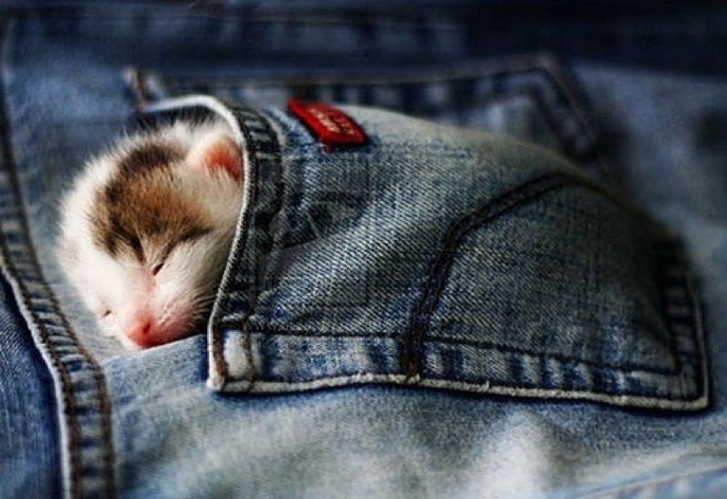 pocket jean kitten